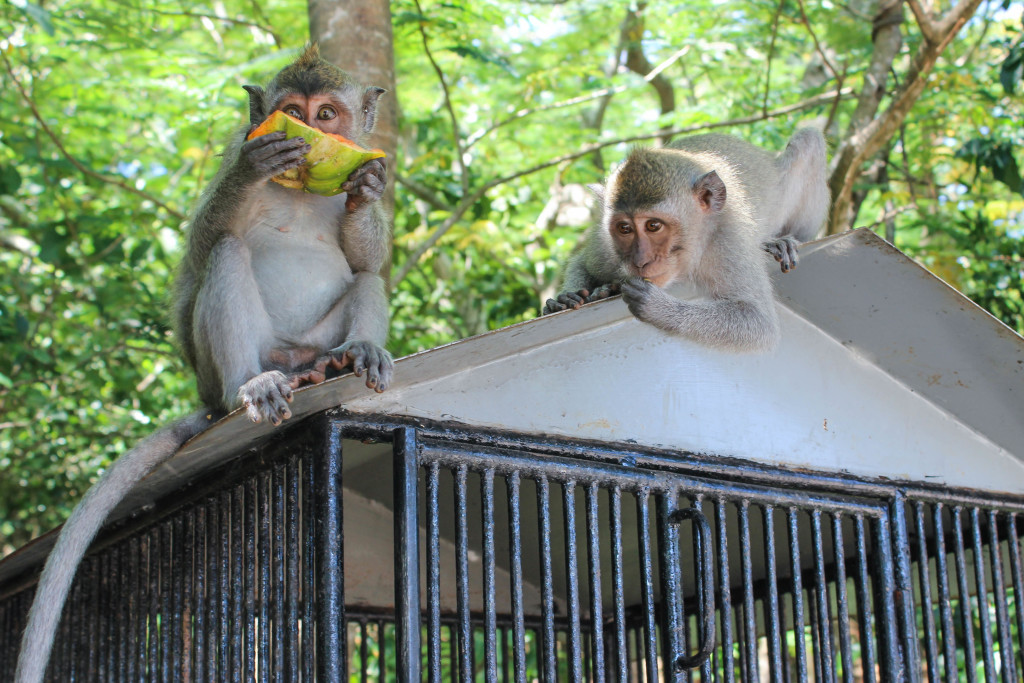 BUKIT PENINSULA monkeys at Uluwatu Temple