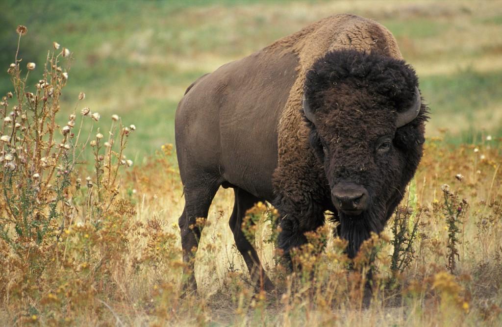 bison-60592_1280