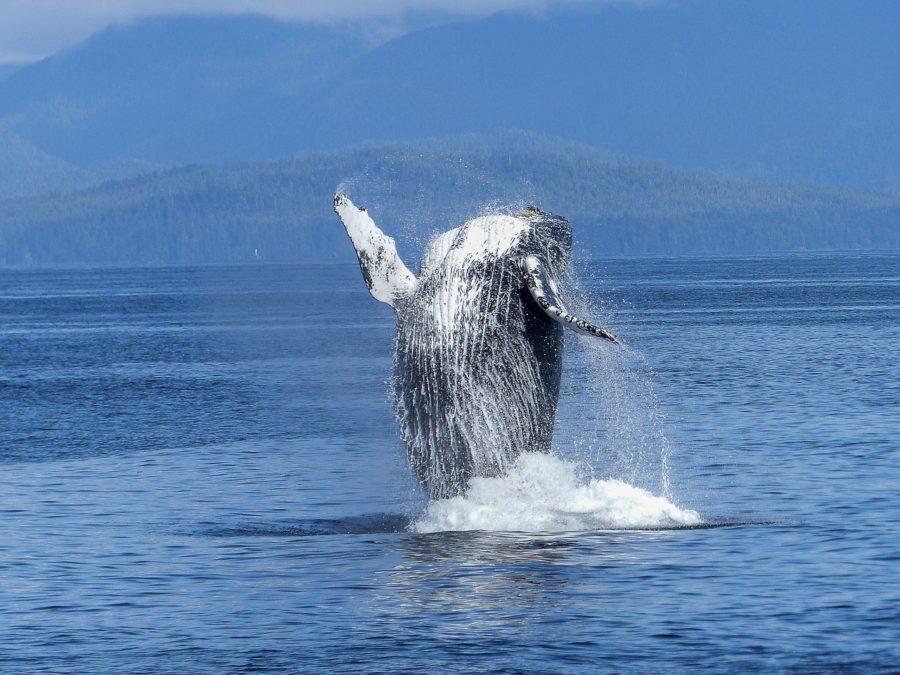 humpback-whale-caribbean